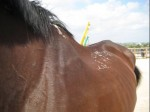 remedial horse, muscle atrophy