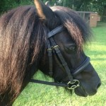 Comfort Elite Padded Bridle, Brass Buckles, Small Pony Size