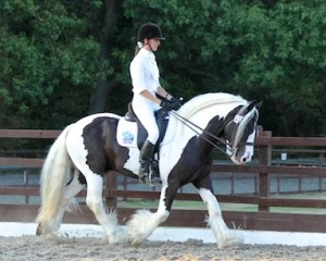 Traditional cob Stallion, Tiger Tim Winning the Pet Plan Regional Dressage <a class=