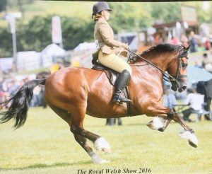Nina and Spartacus competing at the Royal Welsh in Their Cobiau